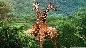 Giraffes-300x168