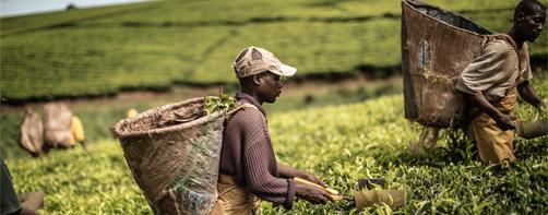 Malawi-tea_GIANLUIGI-GUERCIA_AFP