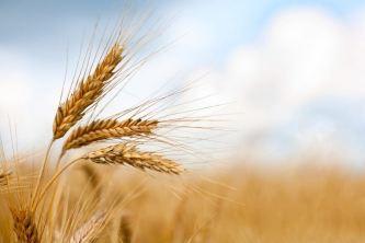 Wheat-1024x683